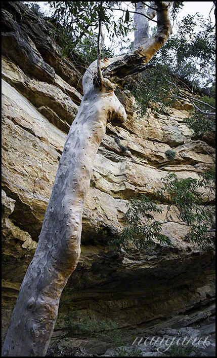 angophora and cliff
