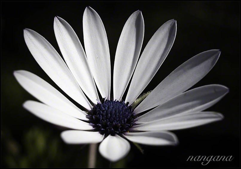 south african daisy