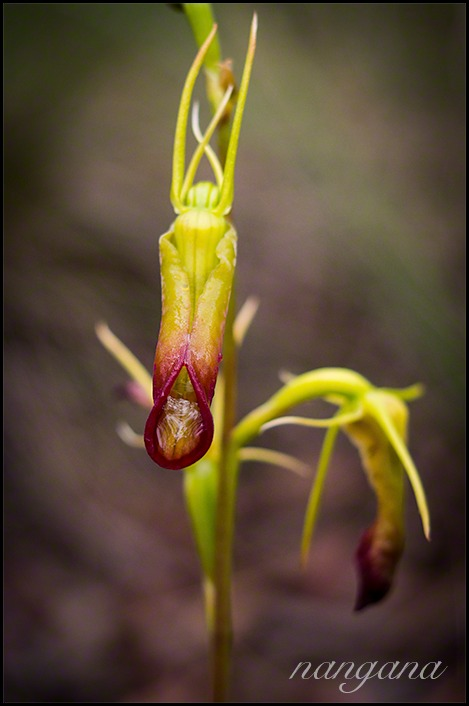 large tongue orchid