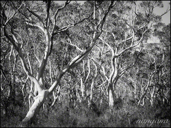 gum trees