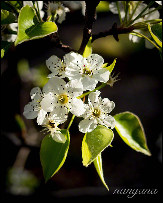 manchurian pear blossoms
