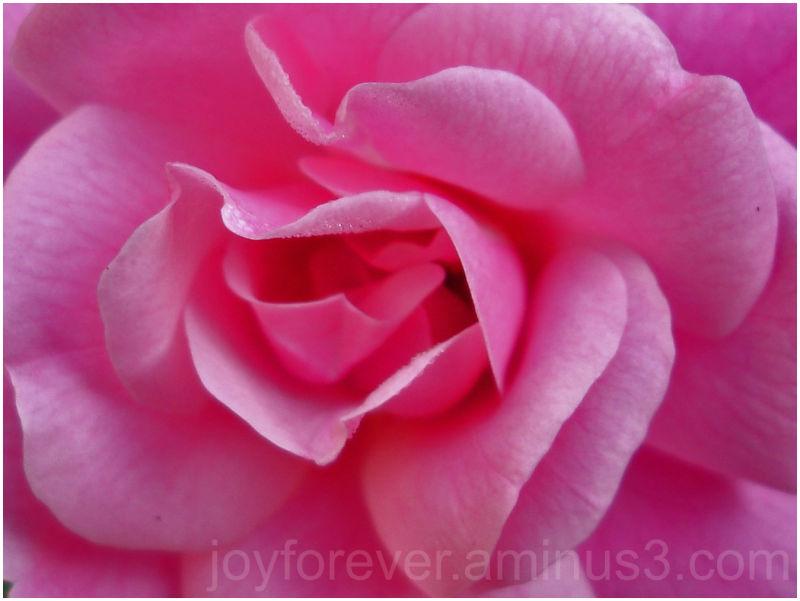 macro pink rose dewdrop