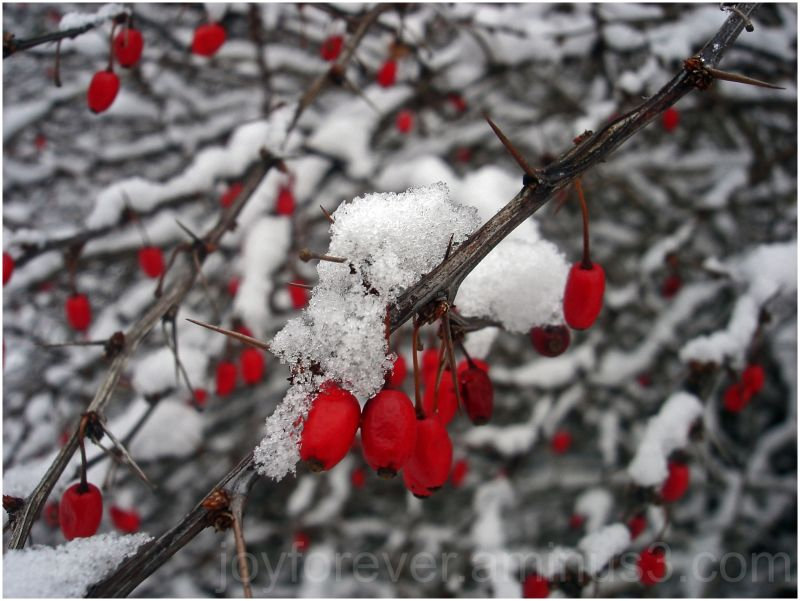 red fruits in snow