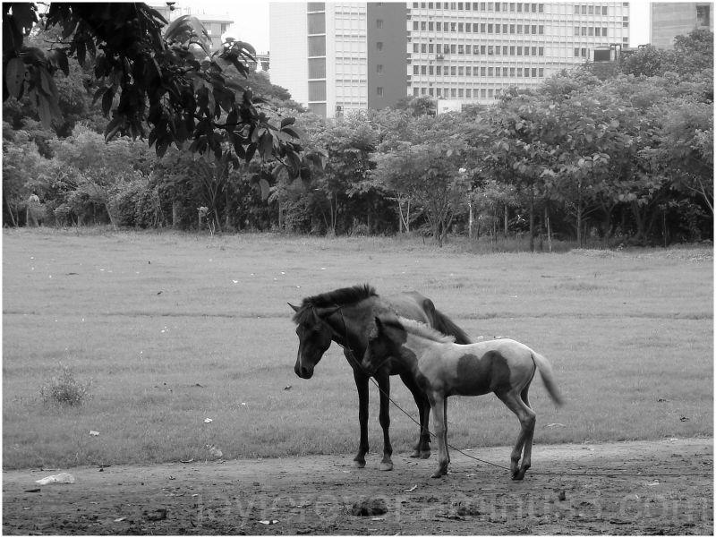 horse Kolkata Calcutta India Black White