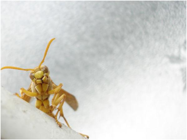 yellow wasp insect macro