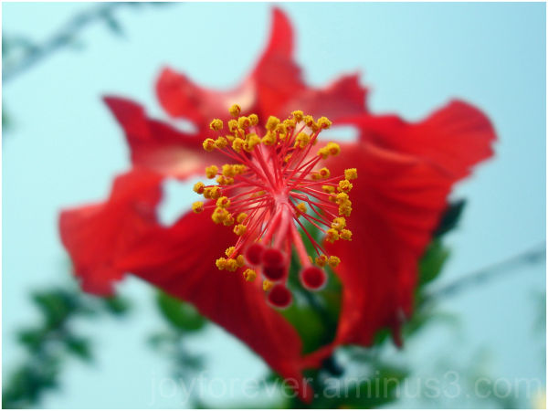 hibiscus red flower mactro india anther stigma