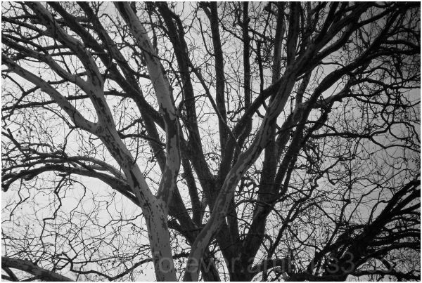 tree branches black white winter