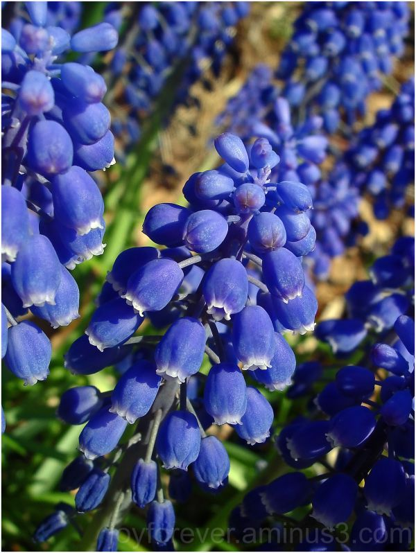 Grape hyacinth Muscari blue flower spring macro