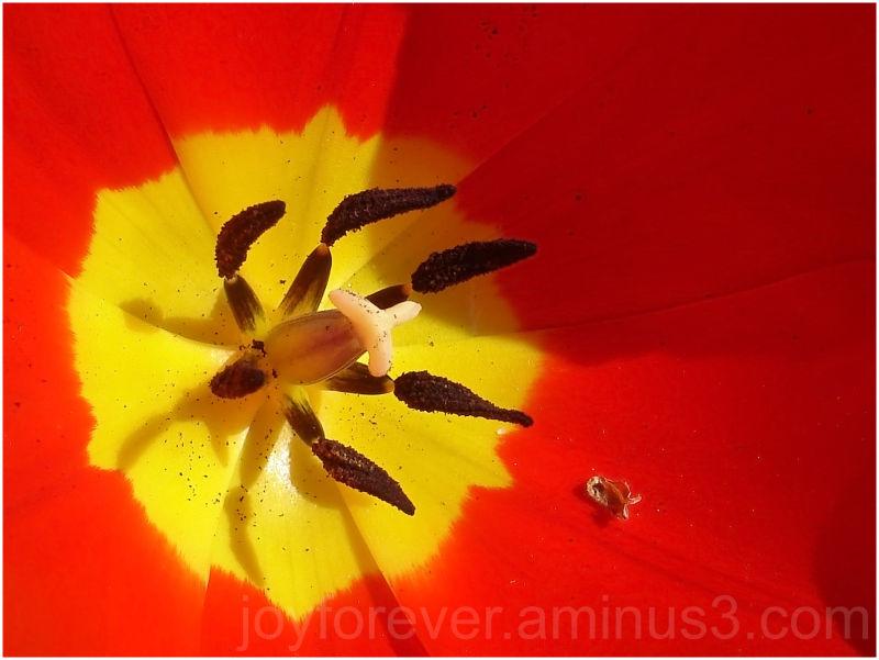 tulip red yellow flower macro