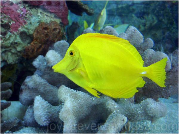 yellow fish underwater butterflyfish aquarium