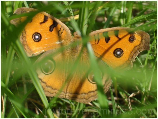 butterfly grass macro