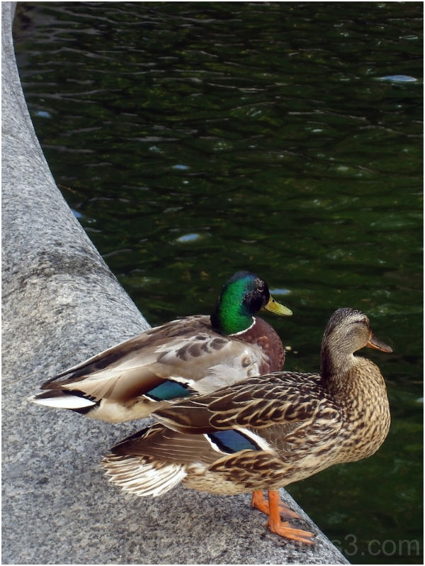 birds duck mallard water couple