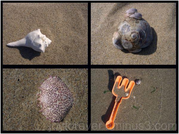 beach shell sand crab