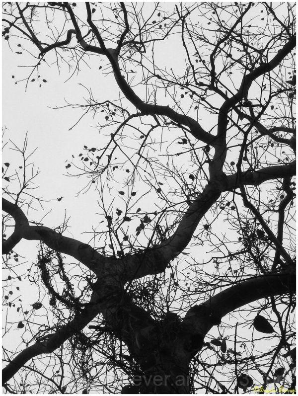 tree fig peepal pipal