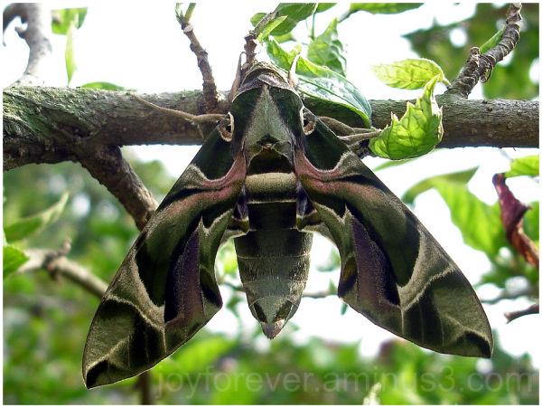 Oleander Hawk Moth Daphnis nerii insect green
