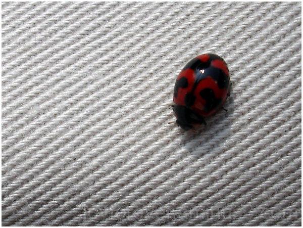 ladybird beetle insect macro
