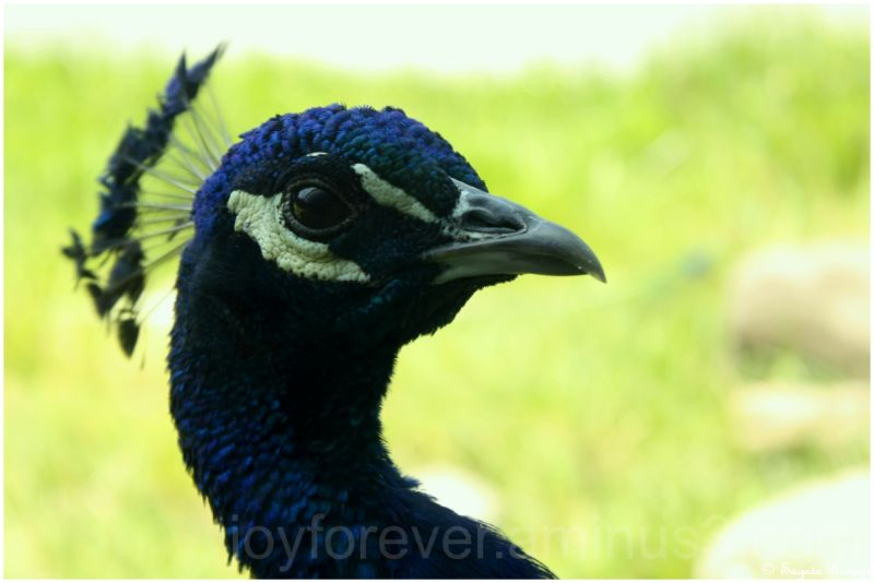 peacock bird close-up macro bronx zoo