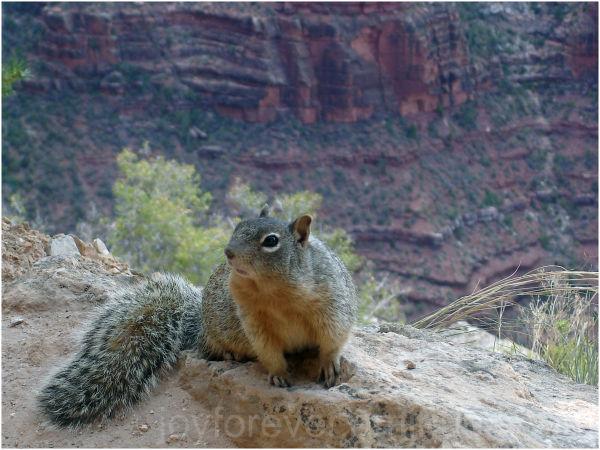 grand-canyon colorado arizona mountain squirrel