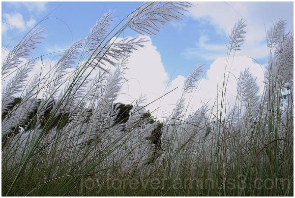kash flower grass reed autumn bengal sky india