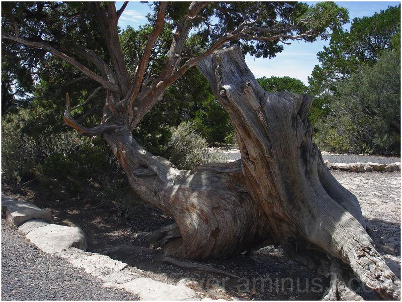 plant tree flora juniper utah-juniper grand-canyon