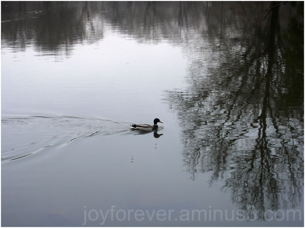 duck pond water lake reflection ripples tree NYC