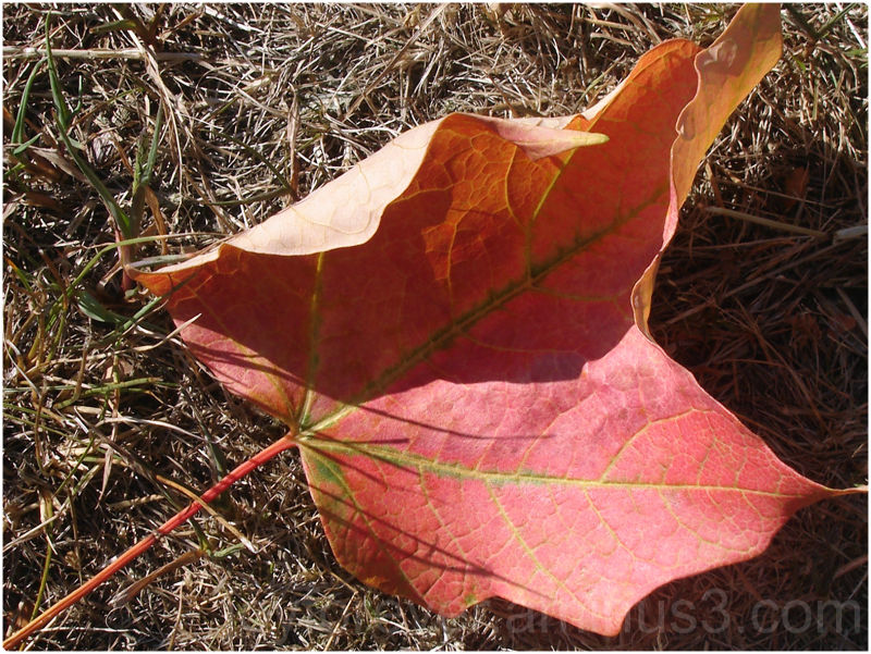fall leaf maple red plant nature autumn