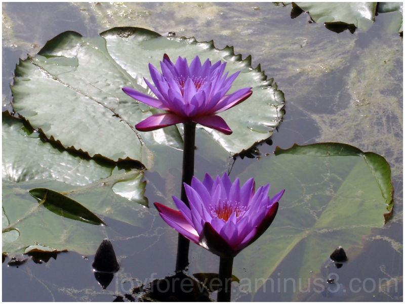 flower plant nature water waterlily violet purple