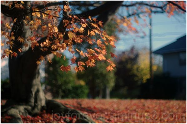 fall leaf maple red plant nature autumn tree