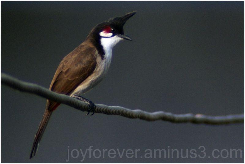 bird bulbul india red-whiskered-bulbul telephoto