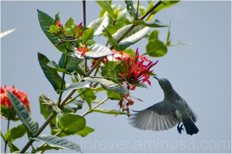 bird sunbird india yellowbacked-sunbird telephoto