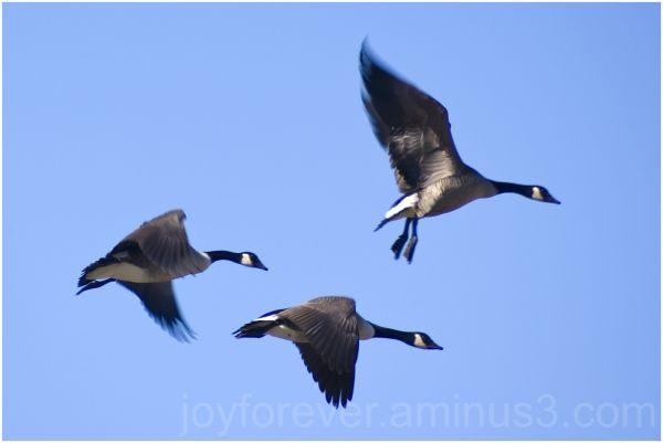 trio three geese canada-geese bird fly flight wing