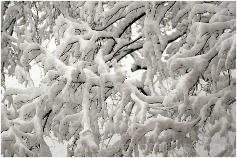 snow tree branches Japanese-maple winter white