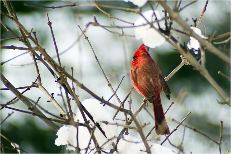 bird red cardinal snow branches nature telephoto