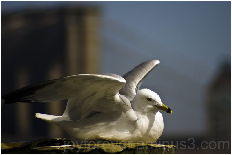 gull seagull bird ring-billed-gull nyc new-york