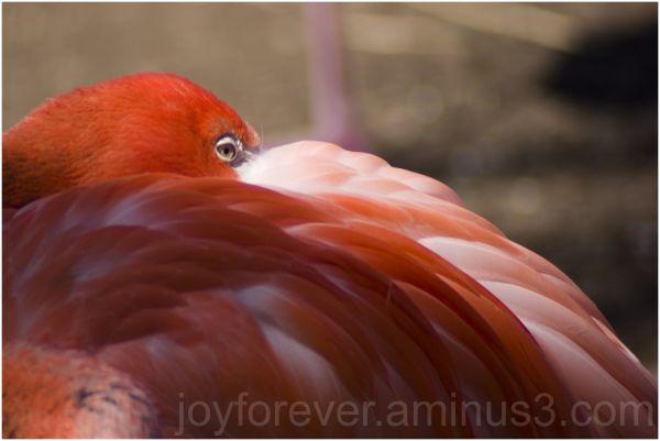 flamingo bird eye orange sleeping telephoto