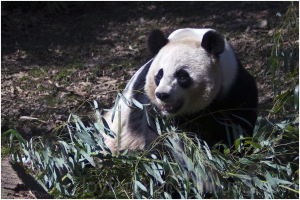 panda bear giant-panda animal Natinal-zoo DC