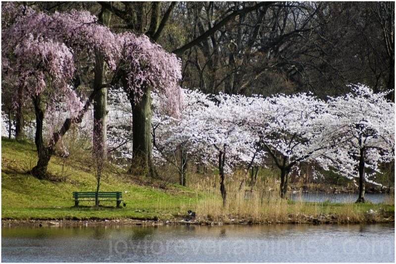 cherry blossoms bench pink flowers spring lake NJ