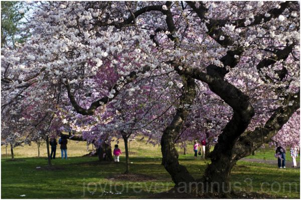 cherry blossoms pink flowers spring trees newark