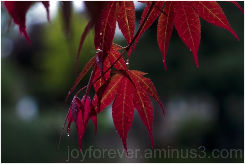 rain leaf maple red bokeh tree April shower