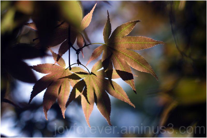 Japanese-maple leaves tree plant shadow sunlight