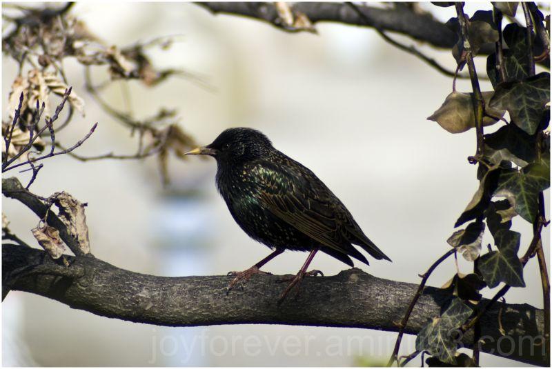 Purple-winged-starling bird starling Washington DC