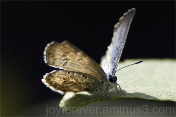 common-grass-blue butterfly macro insect
