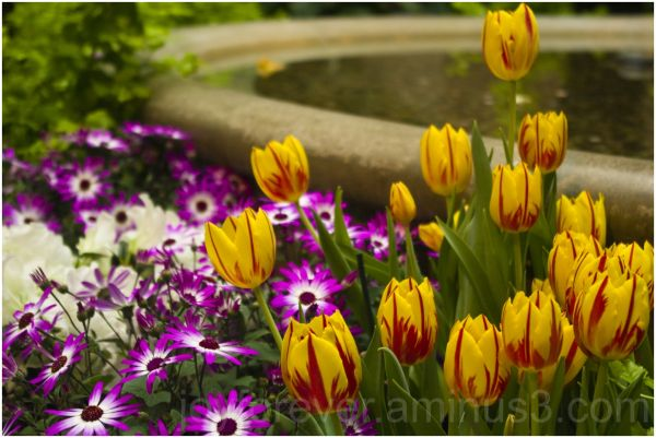flower color tulip yellow red Holi festival colour