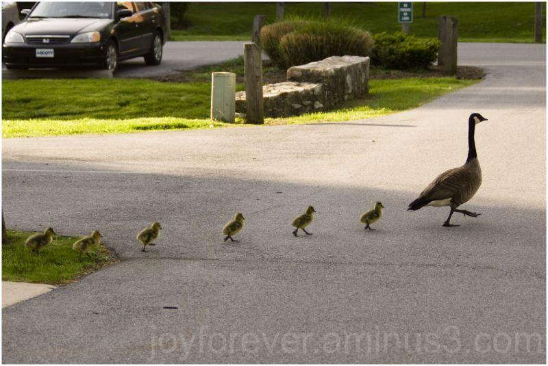 goose geese goslings bird family duck