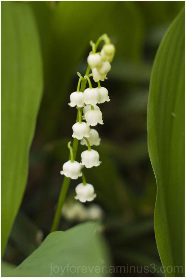flower lily-of-the-valley plant tree spring white