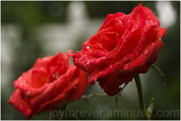 raindrop water drop red rose rain plant nature
