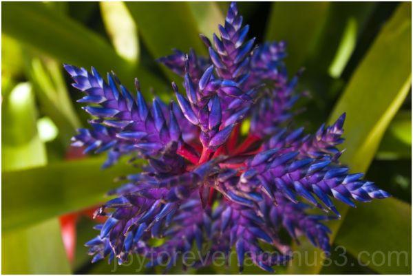 Blue-Tango-Bromeliad flower plant Mirage Las-Vegas