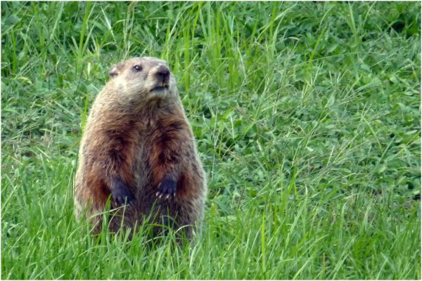 groundhog animal wildlife mammal grass