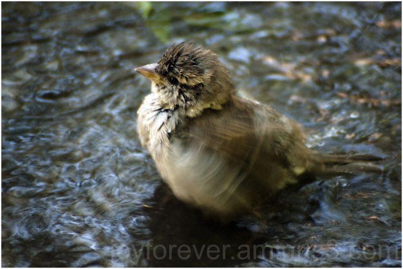 sparrow bird water bath splash NYC blur