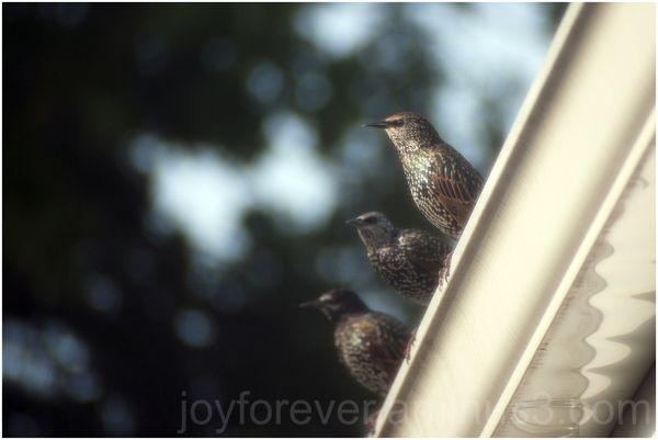 starling bird three trio roof wildlife nature